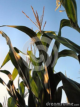 Agosto Corn-1217