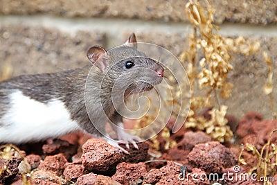 Agouti and white rat