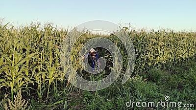 Agrônoma feminina em macacão com tablet em campo de milho cultivado video estoque