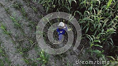 Agrônoma feminina em macacão com tablet em campo de milho cultivado filme
