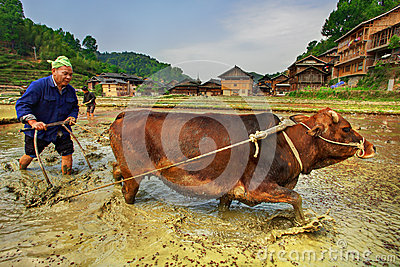 Agricoltore cinese che ara un giacimento del riso facendo uso del rosso di trazione di potere Immagine Stock Editoriale