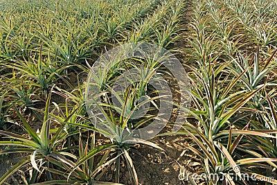 Agricoltura dell 39 ananas fotografia stock libera da diritti for Albero di ananas