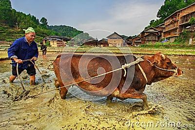 Agriculteur chinois labourant un gisement de riz utilisant le rouge de traction de puissance Image stock éditorial