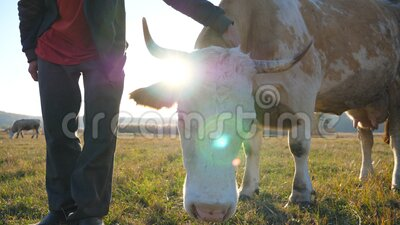 Agricultor irreconhecível tocando e acariciando sua vaca doméstica Animal amistoso que desfruta de cuidados humanos Conceito de e filme