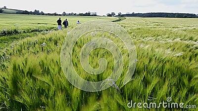 Agricultura - vento - colheita da cevada video estoque