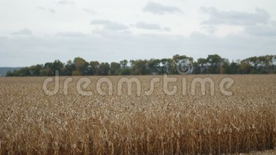 Agricultural cornfield with blue cloudy sky stock video footage