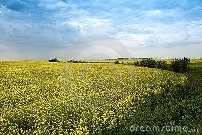 Agricultural landscape - yellow rape flowers