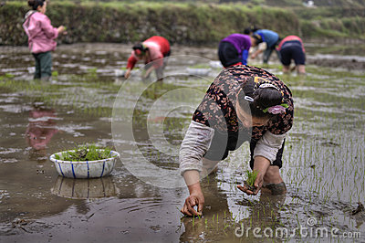 Agricultural work, asian women rice seedling transplanting in ru Editorial Stock Photo