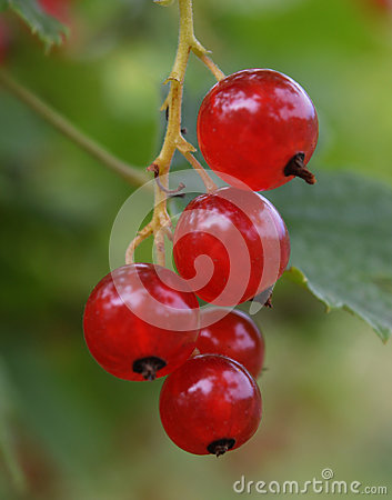 Free Agriculture Bunch Leaves Garden Fruits Macro Healthy Fresh Sweet Currant Cherries Plant Berries Branch Red Fruit Berry Nature Food Stock Photography - 98692732