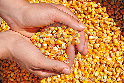 Agriculture corn seeds farmer