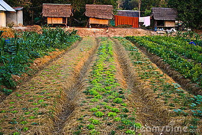 Agriculture,farm,rice ,Thai farmers