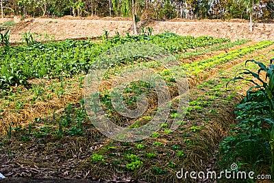 Agriculture,farm,rice ,Thai farmers