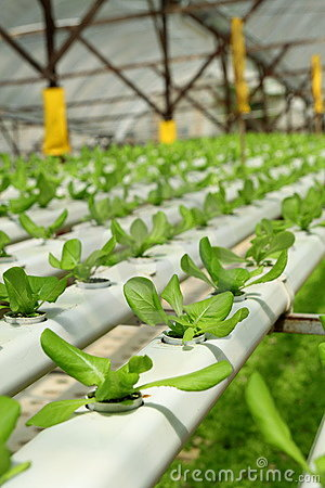 Agriculture - Hydroponic Plantation