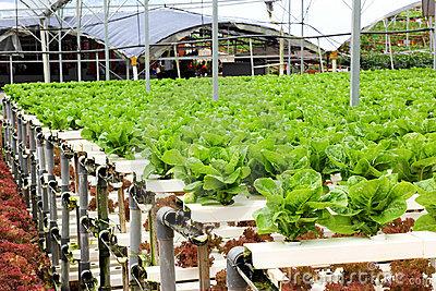 Agriculture - Hydroponic Vegetable Farm