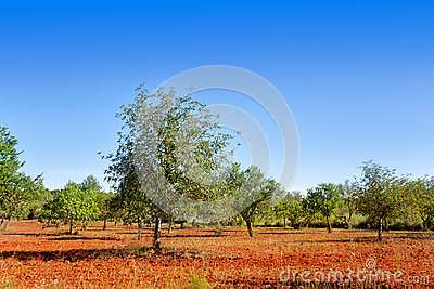 Agriculture in Ibiza island mediterranean trees