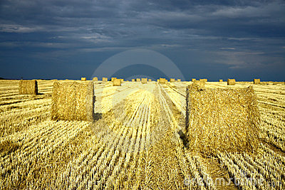 Agriculture land with straw rolls