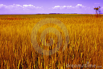 Agriculture landscape - golden grain field