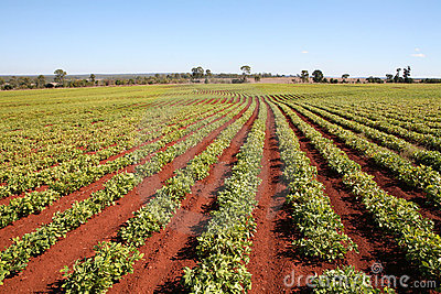 Agriculture, Peanut Field Rows