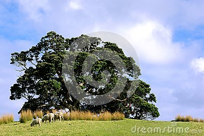 agriculture sheep grazing rural New Zealand