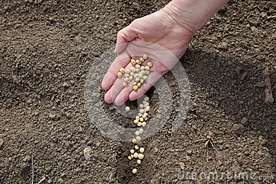 Agriculture, soy bean sowing