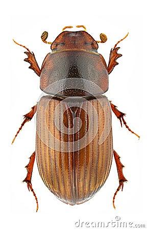 Agrilinusrufus