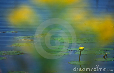 Agua amarilla lilly