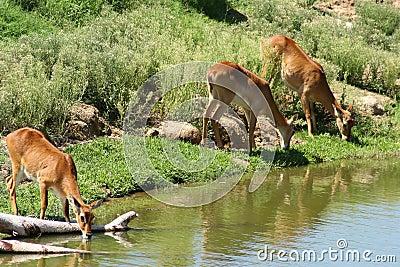 Agujero de riego animal de la gacela