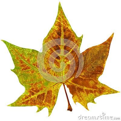 Ahorn leaf