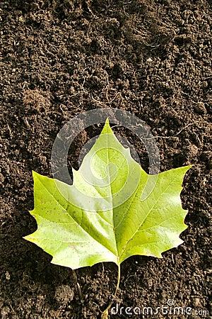 Ahorn liść