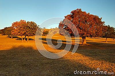 Ahornholz-Bäume