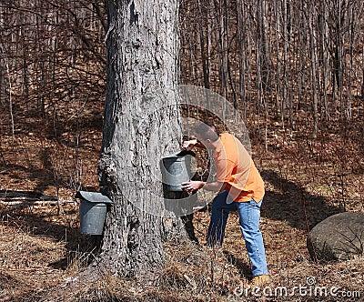 Ahornholz-Zuckerjahreszeit