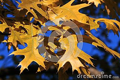 Ahornholzbaum