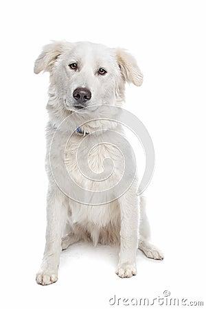 Aidi or atlas mountain dog