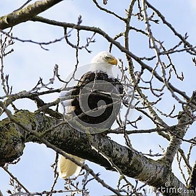 Aigle chauve américain