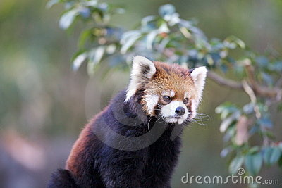 Ailurus Fulgens Stock Photo - Image: 17511510