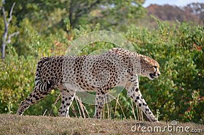 Air fanfaron de guépard