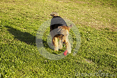 Airdale Terrier Dog Running with Chew Toy at the Park