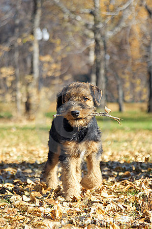 Airedale puppy Close-up