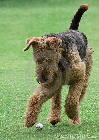 Free Airedale Terrier Stock Photos - 14296723
