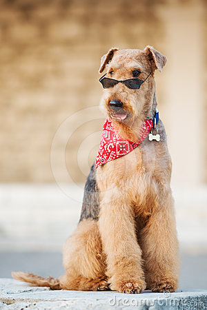 Free Airedale Terrier Royalty Free Stock Image - 24463696