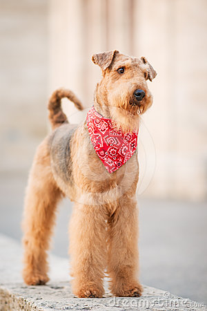 Free Airedale Terrier Royalty Free Stock Photography - 24463707