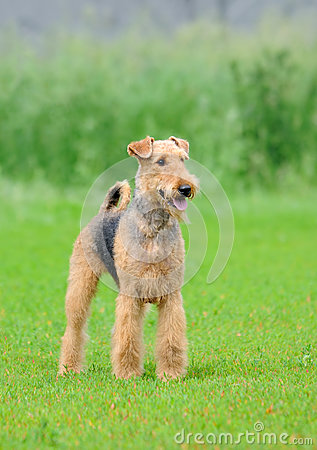 Free Airedale Terrier Royalty Free Stock Image - 90077916