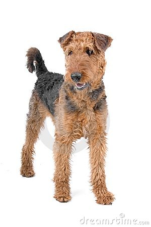 Free Airedale Terrier Dog Stock Image - 14317141