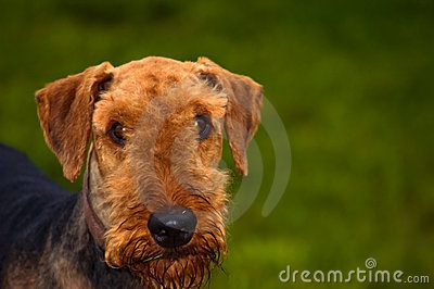 Airedale terrier dog in front of green background