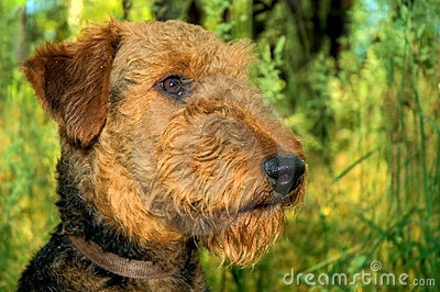 Airedale terrier dog profile closeup