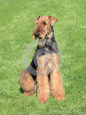 Free Airedale Terrier In The Garden Royalty Free Stock Images - 29940799