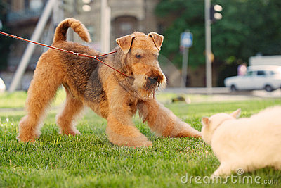 Airedale terrier playing with white cat