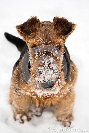 Free Airedale Terrier Puppy Dog Sitting At Snow Stock Images - 46931624
