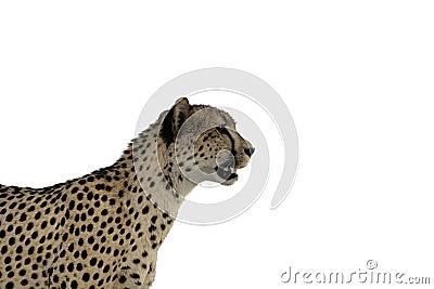 Aislamiento el mirar fijamente del guepardo