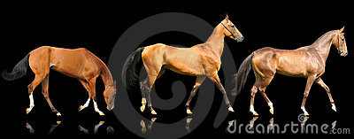 Akhal svarta hästar isolerade teke tre